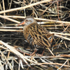 水陸両用・クイナ科の野鳥たち【ヤンバルクイナ以外のクイナは知ってる?】