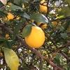 245   雨にも風にも負けなかったレモンたち