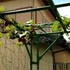 キウイフルーツ 葉が穴ぼこだらけに・・・。