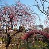 梅満開の亀戸天神社へ