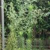 オオアレチノギク(大荒地野菊) その後