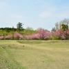 新緑と八重桜の四稜郭…