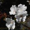 桜 スルガダイニオイ Cerasus lannesiana 'Surugadai-odora' Miyoshi