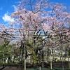 命二ッの中に生たる桜哉