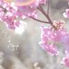 ◎桜とユキヤナギ。