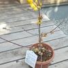 「ロウバイという低木」の話
