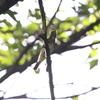 コルリ・キビタキ・オオルリ・コサメビタキ(大阪城野鳥探鳥 20190907 5:15-11:30)