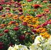 百日草花壇