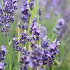 グラース国際香りの博物館の植物園① Les Jardins du MIP