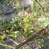 モッコウバラにもつぼみ 2015/03/13 今日は春めいて日中は暖かくなりそうです