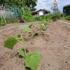 無農薬秋キュウリを植えました!@新潟EMBC複合発酵バイオで栽培する健康農産物の会