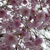 桜の名所 角館
