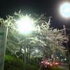 夜桜見物@金曜日