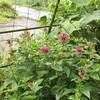 ハーブ7月の開花