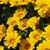 いろいろ咲いてます「ガザニア」