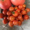 今日は収穫したトマト料理2品
