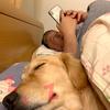 人間の様に普通に布団で寝ているゴールデンレトリバー