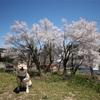 さよなら、畑の桜の木