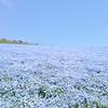 ひたち海浜公園、ネモフィラの一面の青い花畑