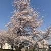 春真っ盛り〜桜が満開、土筆も発見〜