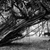 タイ王国に住む⑤世界2位の巨大オオトカゲにバッタリ遭遇、シリキット女王公園