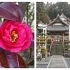美濃国分寺跡の山茶花(山茶花) │ 季節の花ジョギング