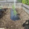 朝 草むしりをしてレタスを植え直ししました。