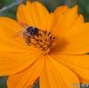 オレンジの花とミツバチ