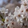 新潟市で手軽に桜を楽しみたい!