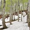 残雪と新緑のブナ林にて