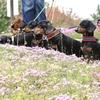 るま家の旅行に途中参加の「芝桜花桃公園」