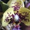 胡蝶蘭が開花・・・。