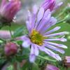 ☆新商品入荷☆色鮮やかな紫色の変わり花「濃色オビトケノコンギク」など