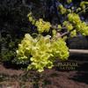 シナミズキ・トサミズキ Corylopsis sinensis  Corylopsis spicata