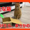 猫に小さな箱をあげたら、思わぬ事態になりました。When I gave a small box to a cat, something unexpected happened.