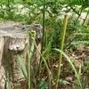 夏のワラビが収穫されない3つの理由!