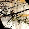 木陰から獲物を狙うモズ