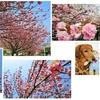 遅咲きの桜も満開
