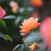 新宿御苑のバラとTAMRON SP90(Model 52B)