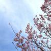 桜とサクランボと猫 03/16