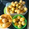 (家庭菜園)ビワの収穫と剪定は、注意しないと来年実が付かないのです
