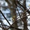 今年は咲くの早いかな?マンサクの花