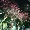 東京発サイクリングでちょうど良い距離の梅まつりまとめた。