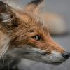 PORTRAIT KITA-KITUNE (Ezo red fox)