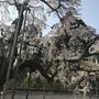 春の京都 桜の名所を巡る その4総本山醍醐寺