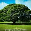 この木・・・モアナルアガーデンのモンキーポッド