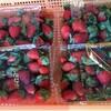 回帰水イチゴの季節が来ました。販売開始です。お得パック600円です。