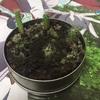 サボテン 種植えてから約11ヶ月くらいの様子