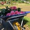 良く晴れた日に個人のお庭を無料開放されている「甲本バラ園」さんへ行ってきた