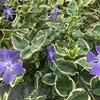 斑入りの常緑グランドカバー『ツルニチニチソウ』の2年間の育成記録~春の開花と夏の驚異的な成長・剪定